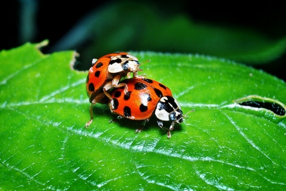 Adult Sex Ed: Let's Talk About, image of two lady bugs one is standing behind the other.